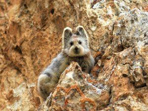 animalier-magazine-pika-di-Ili-ocotone-ricompare-rischio-estinzione (2)