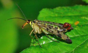 animalier-magazine-abitudini-sessuali-animali-mosca-scorpione