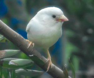 animalier-magazine-passero-albino-melbourne-bob-winters