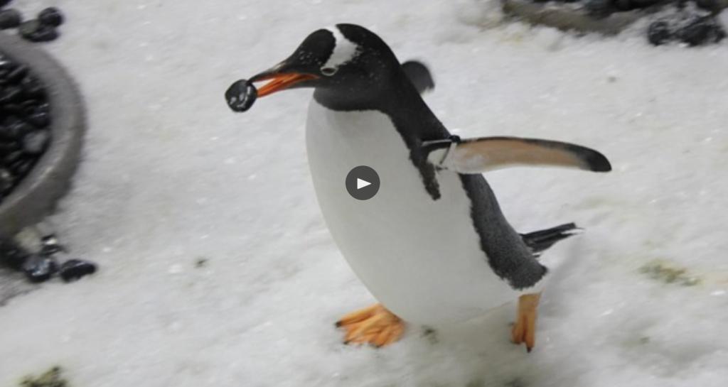 Il pinguino romantico Animalier magazine