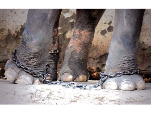 animalier-magazine-petizione-elefante-kaavan (3)