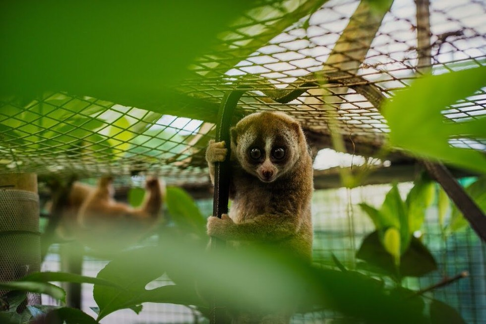 animalier-magazine-cepat-international-animal-rescue-loris-lento (2)