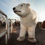 orso-bianco-greenpeace-roma