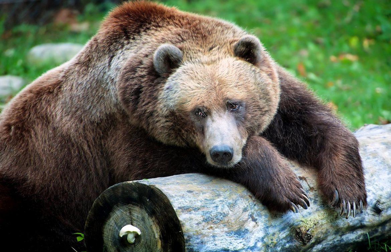 trentino-orso-avvelenato-valdinon