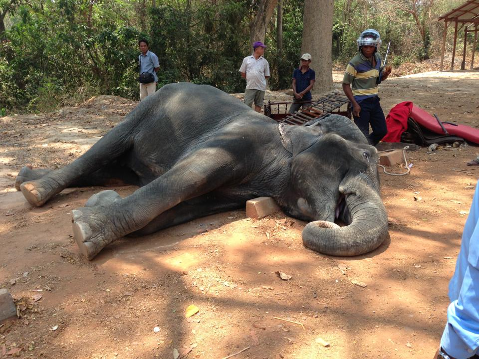cambogia-muore-sambo-elefante