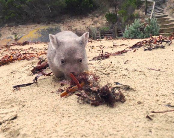 coccolatore-wombat