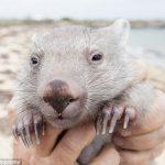 wombat_derek