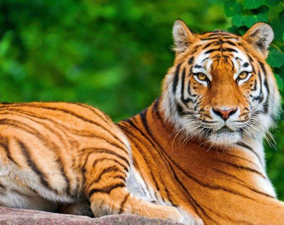 tiger-day-giornata-mondiale-della-tigre