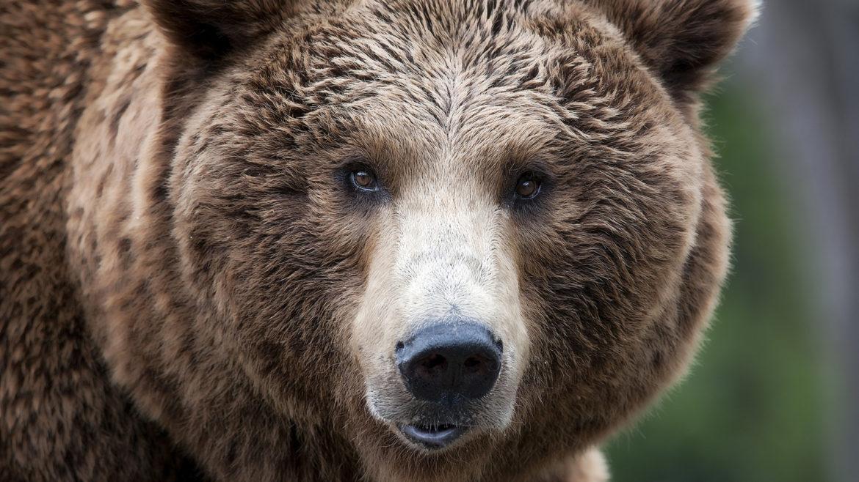 aggressione orso trentino parere marchesini