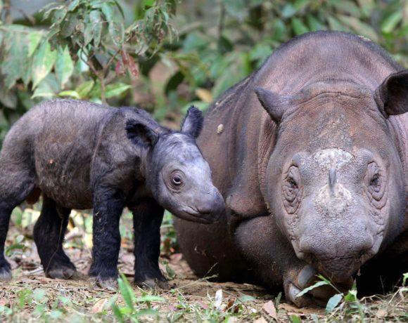 rinoceronte-sumatra